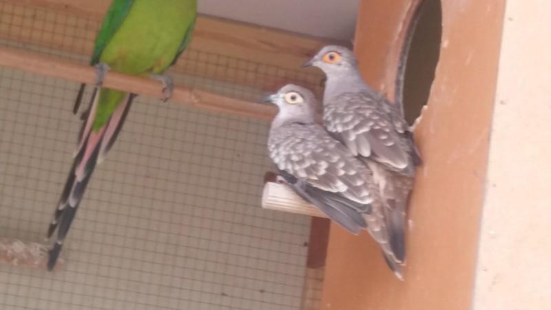 Mode de vie des colombes Céciles Mon_co10