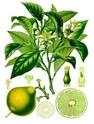 agrumes ( citrus ) : citron - lime - orange - bergamote - mandarine - pamplemousse - cédrat Citrus10