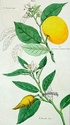 agrumes ( citrus ) : citron - lime - orange - bergamote - mandarine - pamplemousse - cédrat Citrus14