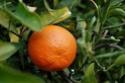 agrumes ( citrus ) : citron - lime - orange - bergamote - mandarine - pamplemousse - cédrat Citrus20