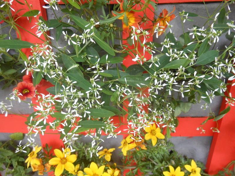 Les fleurs de mon balcon  Bidens10