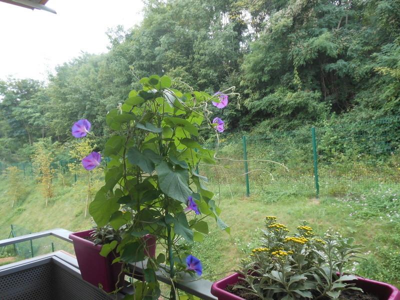 Les fleurs de mon balcon  Dscn7010