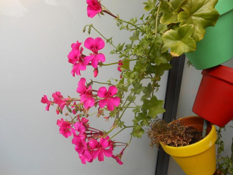 Les fleurs de mon balcon  Dscn7017