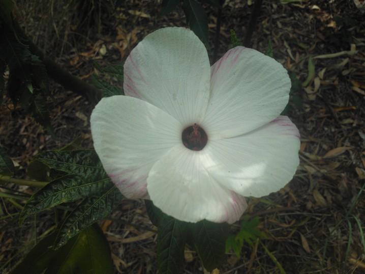 Mes hibiscus et moi...une longue histoire - Page 12 Hibisc10