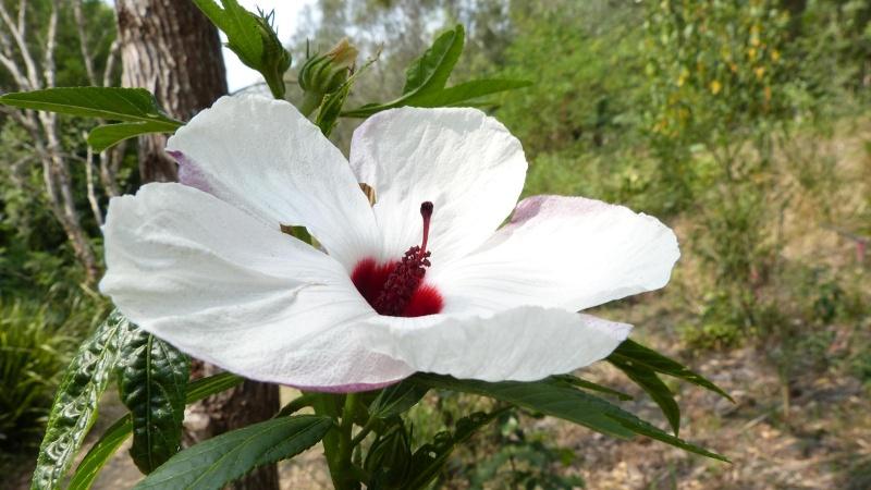 Mes hibiscus et moi...une longue histoire - Page 12 Hibisc14