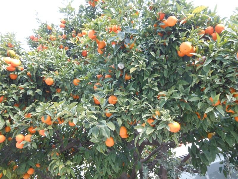 Mes agrumes Orange10