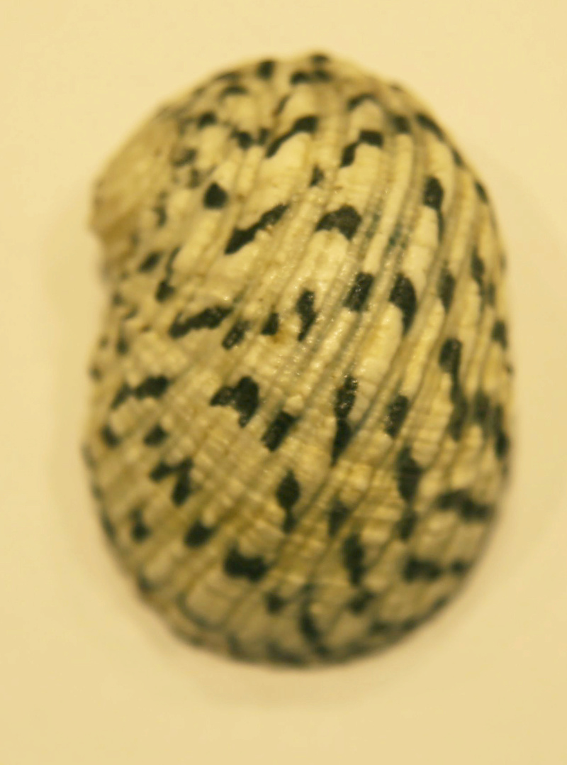 Nerita textilis ? Z62b5210