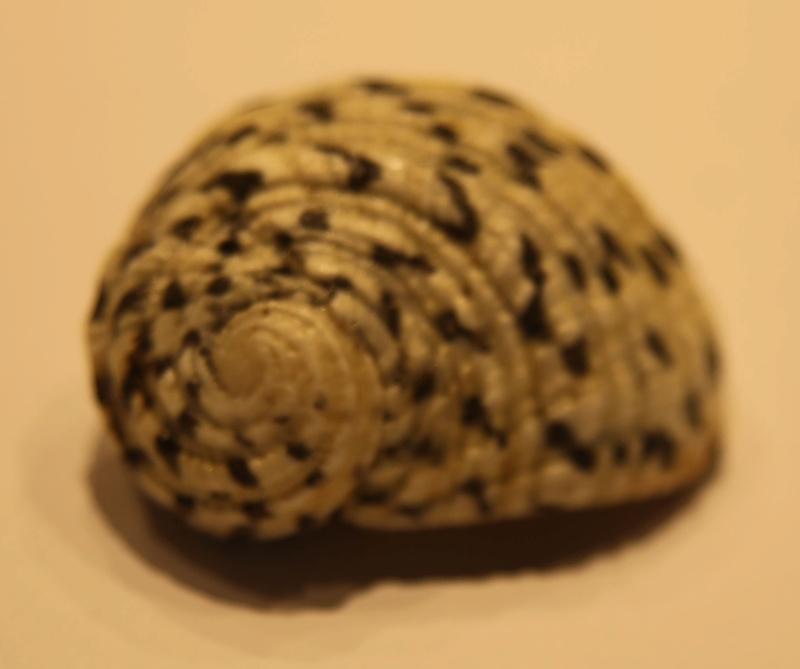 Nerita textilis ? Z62b5212