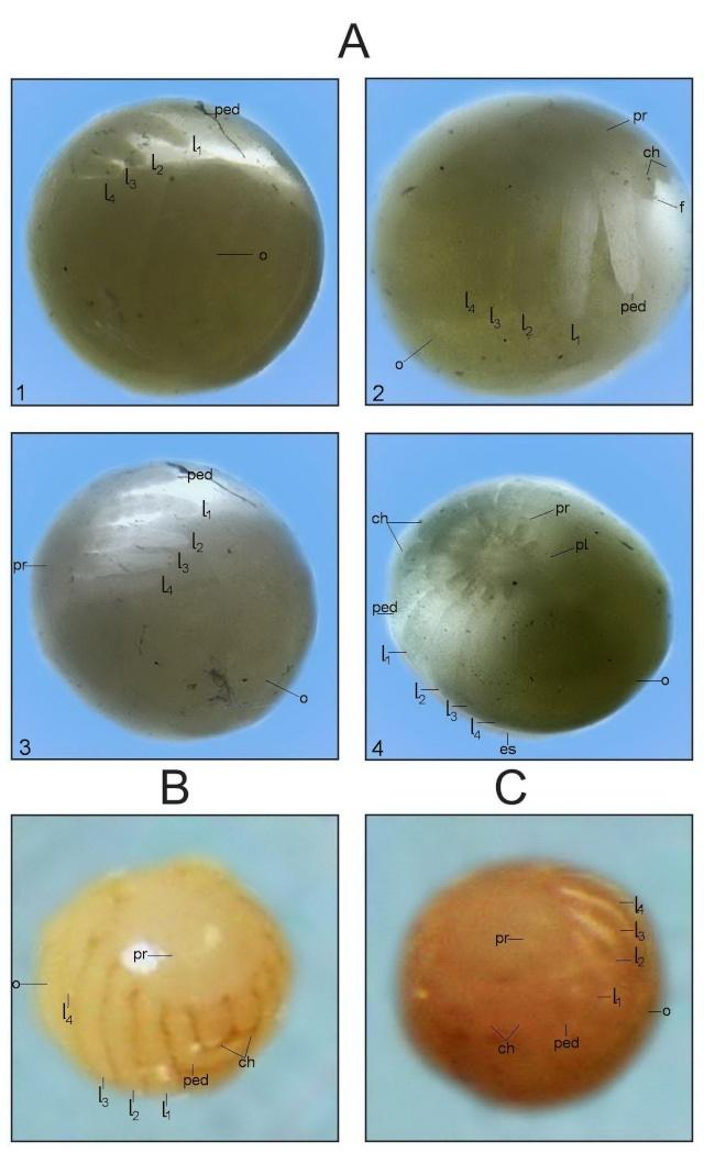 Эмбриогенез пауков-птицеедов на примере Psalmopoeus cambridgei 4_ddnn10