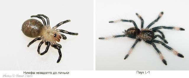 Эмбриогенез пауков-птицеедов на примере Psalmopoeus cambridgei Ddn_nn10