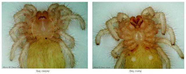 Эмбриогенез пауков-птицеедов на примере Psalmopoeus cambridgei Untitl11