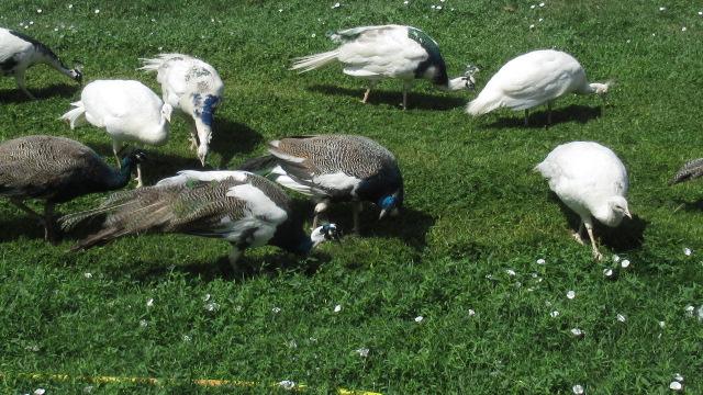 Manger de l'herbe ... Img_1616