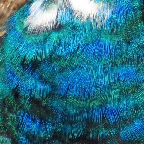 A quel age apparaissent les premieres plumes bleues chez le male ? Img_6112