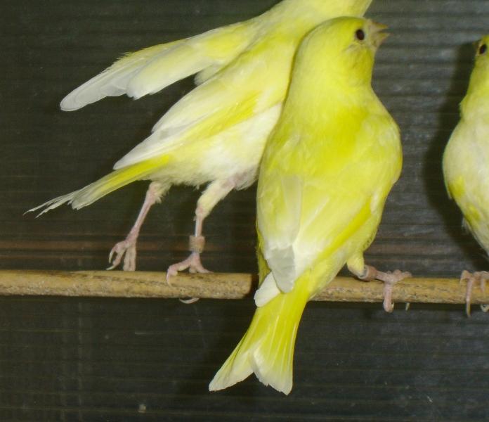 Mes nouveaux verdiers jaune lipocromics 2017. Ssmodd11