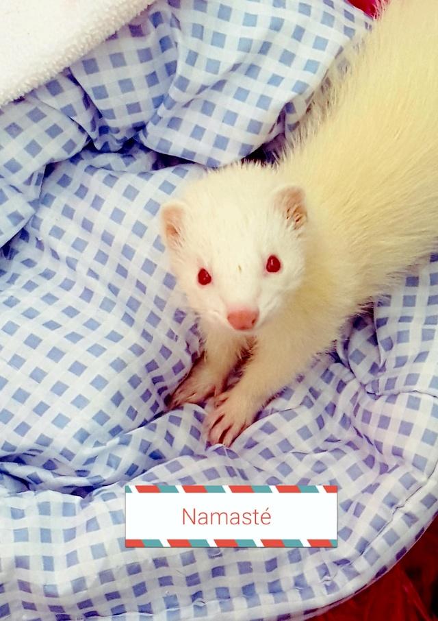 Namasté, femelle albinos 20170811