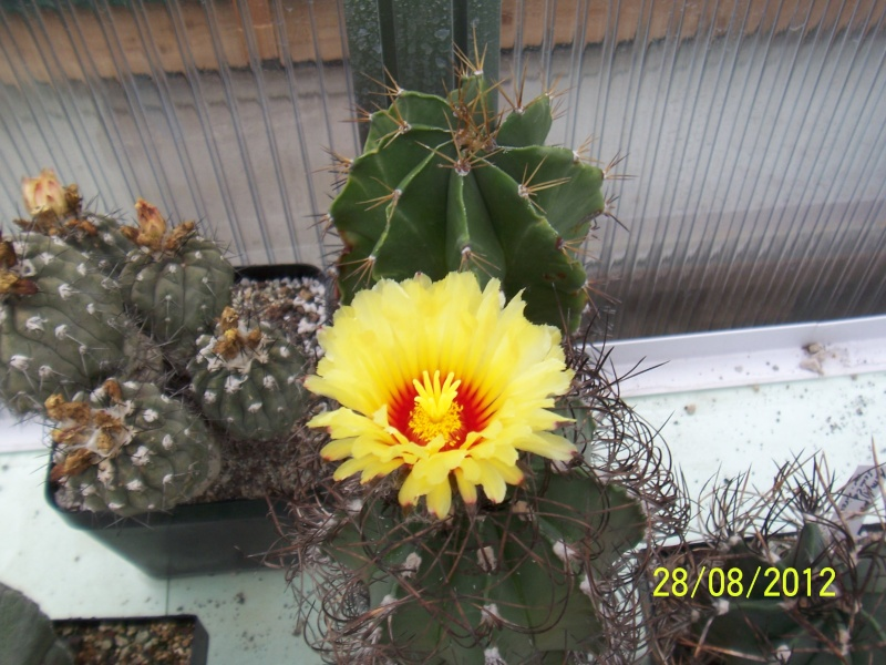Cacti and Sukkulent in Köln, every day new flowers in the greenhouse Part 30   Bild1003