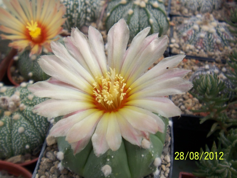 Cacti and Sukkulent in Köln, every day new flowers in the greenhouse Part 30   Bild1008