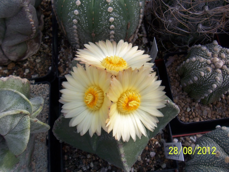 Cacti and Sukkulent in Köln, every day new flowers in the greenhouse Part 30   Bild1013
