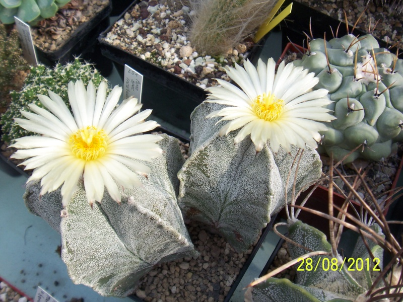 Cacti and Sukkulent in Köln, every day new flowers in the greenhouse Part 30   Bild1014