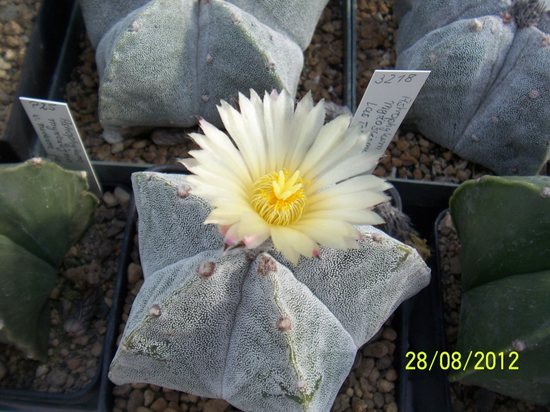 Cacti and Sukkulent in Köln, every day new flowers in the greenhouse Part 30   Bild1015