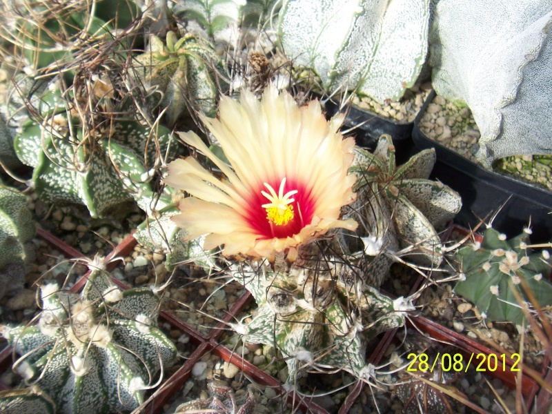 Cacti and Sukkulent in Köln, every day new flowers in the greenhouse Part 30   Bild1019