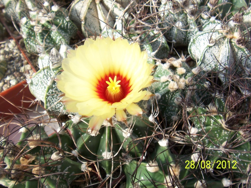 Cacti and Sukkulent in Köln, every day new flowers in the greenhouse Part 30   Bild1020