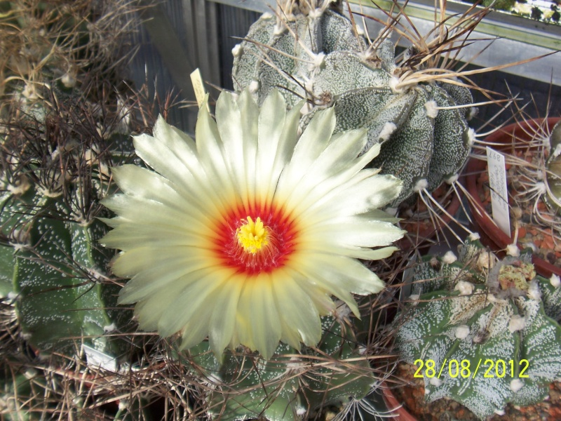 Cacti and Sukkulent in Köln, every day new flowers in the greenhouse Part 30   Bild1021