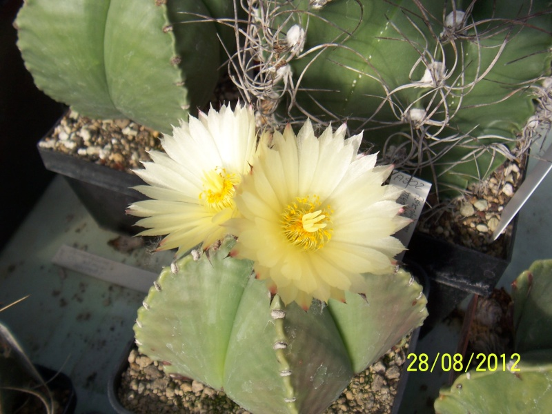 Cacti and Sukkulent in Köln, every day new flowers in the greenhouse Part 30   Bild1038