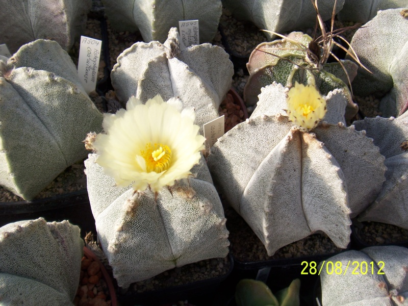 Cacti and Sukkulent in Köln, every day new flowers in the greenhouse Part 30   Bild1040