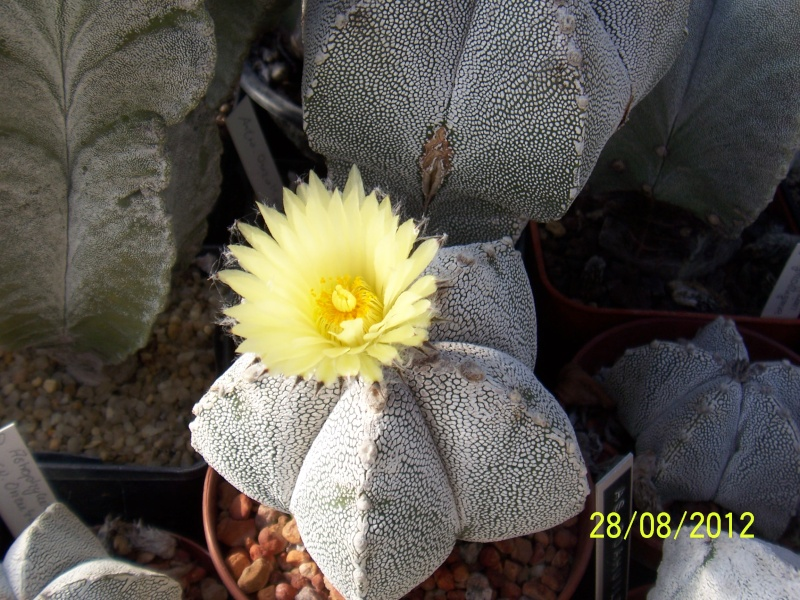 Cacti and Sukkulent in Köln, every day new flowers in the greenhouse Part 30   Bild1042