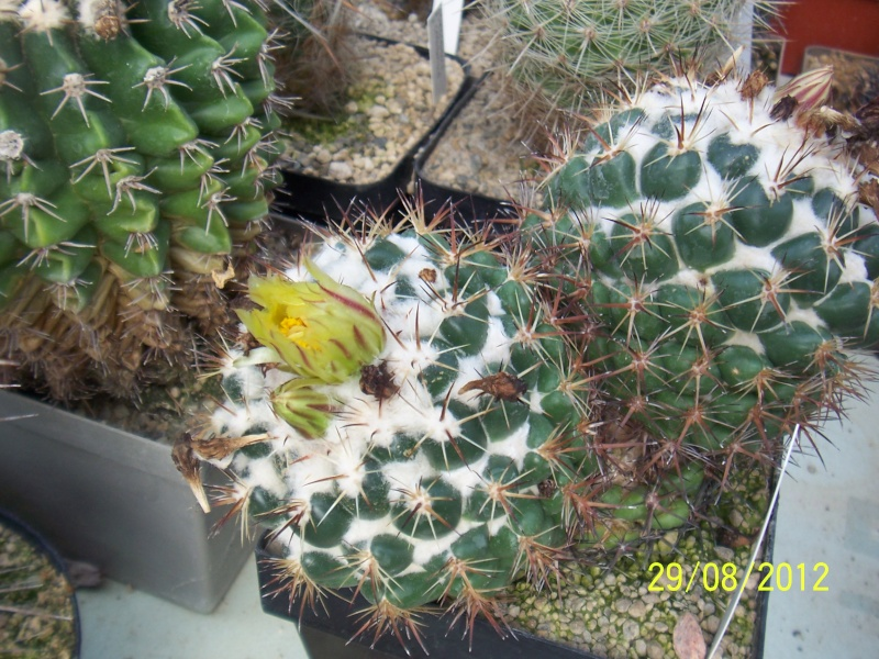 Cacti and Sukkulent in Köln, every day new flowers in the greenhouse Part 31 Bild1053