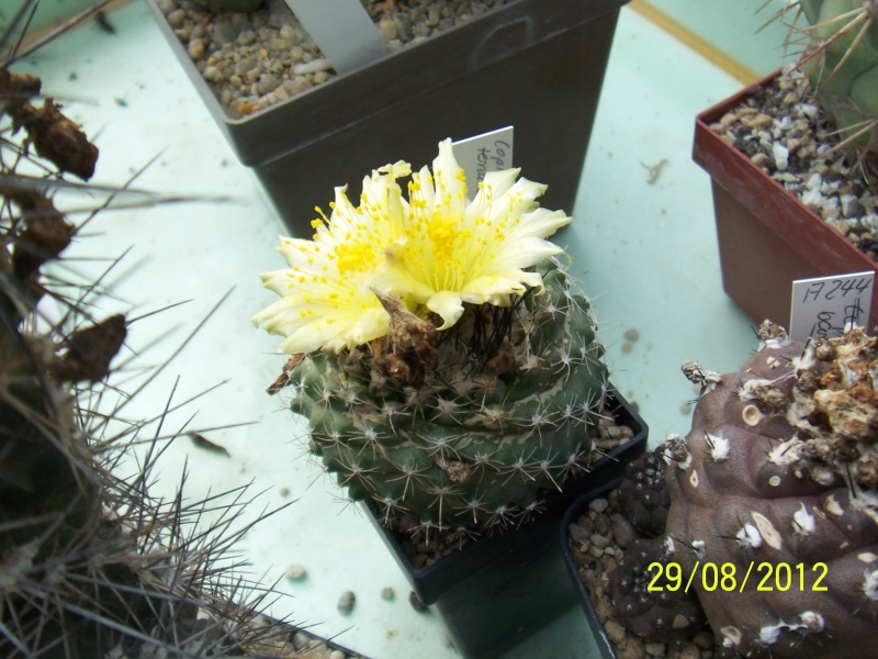 Cacti and Sukkulent in Köln, every day new flowers in the greenhouse Part 31 Bild1054