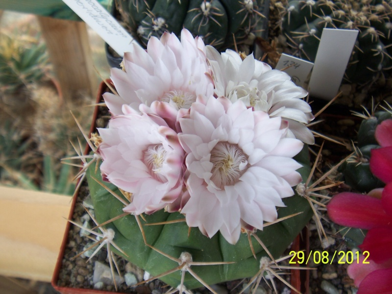 Cacti and Sukkulent in Köln, every day new flowers in the greenhouse Part 31 Bild1072