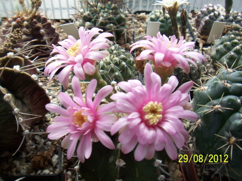 Cacti and Sukkulent in Köln, every day new flowers in the greenhouse Part 31 Bild1073