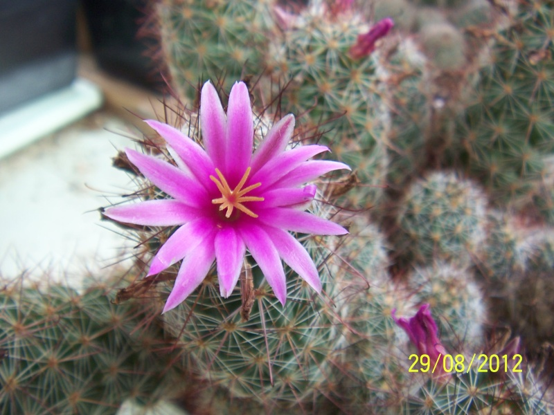 Cacti and Sukkulent in Köln, every day new flowers in the greenhouse Part 31 Bild1076