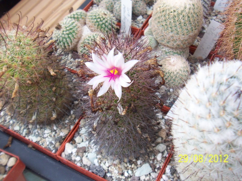 Cacti and Sukkulent in Köln, every day new flowers in the greenhouse Part 31 Bild1077
