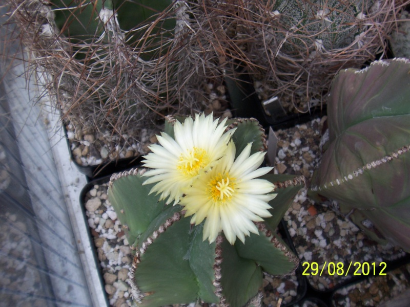 Cacti and Sukkulent in Köln, every day new flowers in the greenhouse Part 31 Bild1084