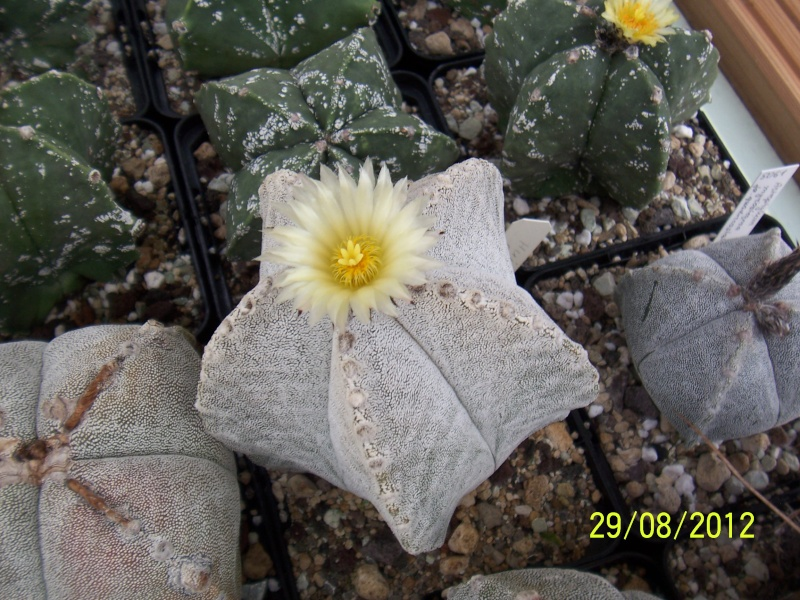 Cacti and Sukkulent in Köln, every day new flowers in the greenhouse Part 31 Bild1085