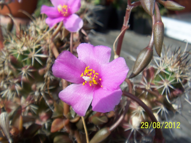 Cacti and Sukkulent in Köln, every day new flowers in the greenhouse Part 31 Bild1090