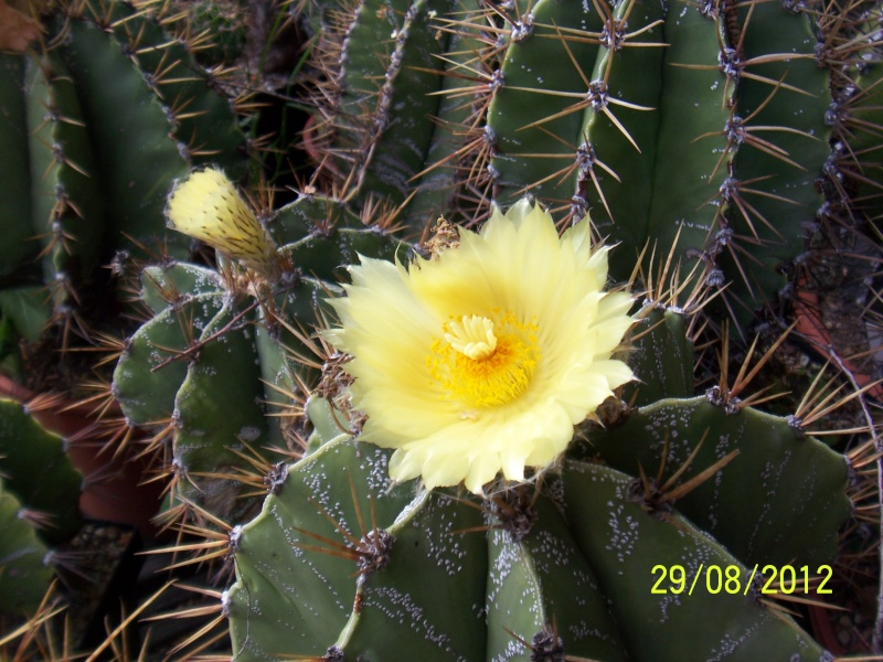 Cacti and Sukkulent in Köln, every day new flowers in the greenhouse Part 31 Bild1096