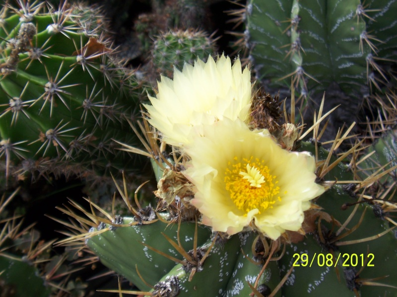Cacti and Sukkulent in Köln, every day new flowers in the greenhouse Part 31 Bild1097