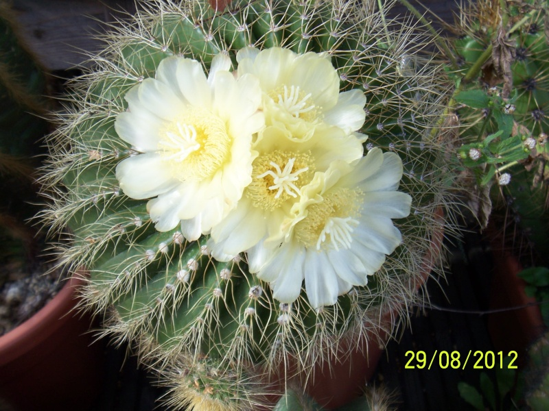 Cacti and Sukkulent in Köln, every day new flowers in the greenhouse Part 31 Bild1099