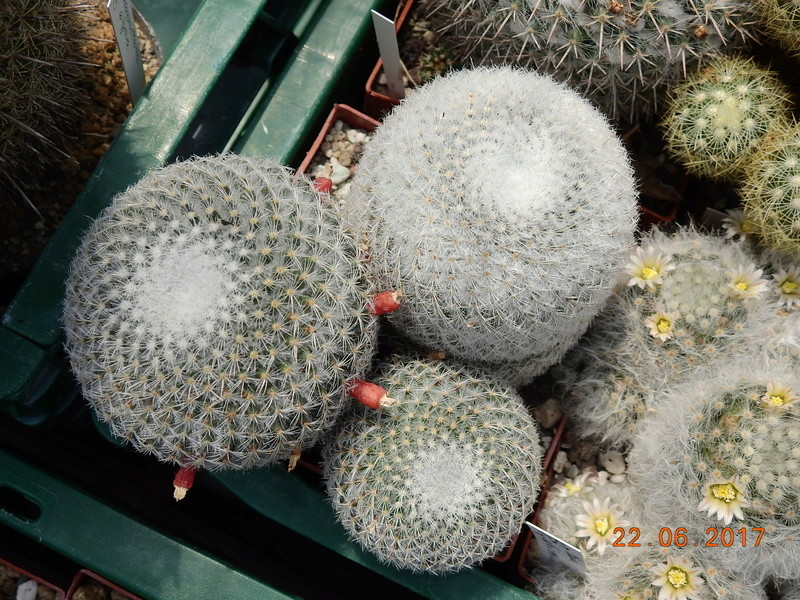 Cacti and Sukkulent in Köln, every day new flowers in the greenhouse Part 166 Bild1103
