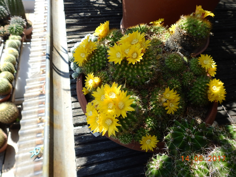 Cacti and Sukkulent in Köln, every day new flowers in the greenhouse Part 166 Bild1106