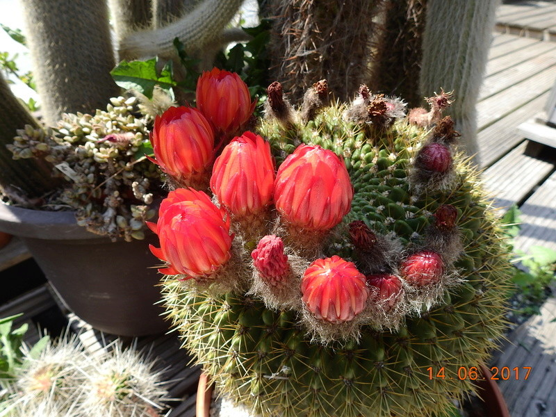 Cacti and Sukkulent in Köln, every day new flowers in the greenhouse Part 166 Bild1108