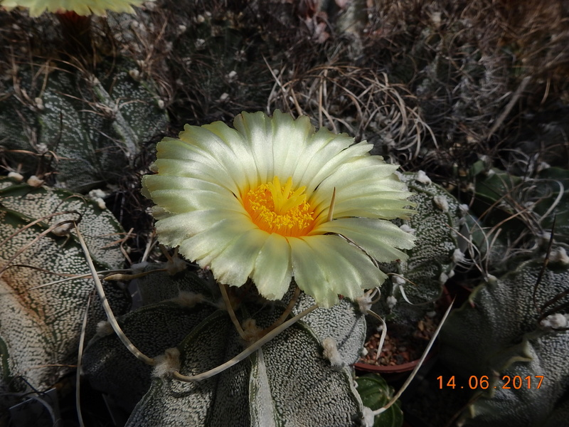 Cacti and Sukkulent in Köln, every day new flowers in the greenhouse Part 166 Bild1114