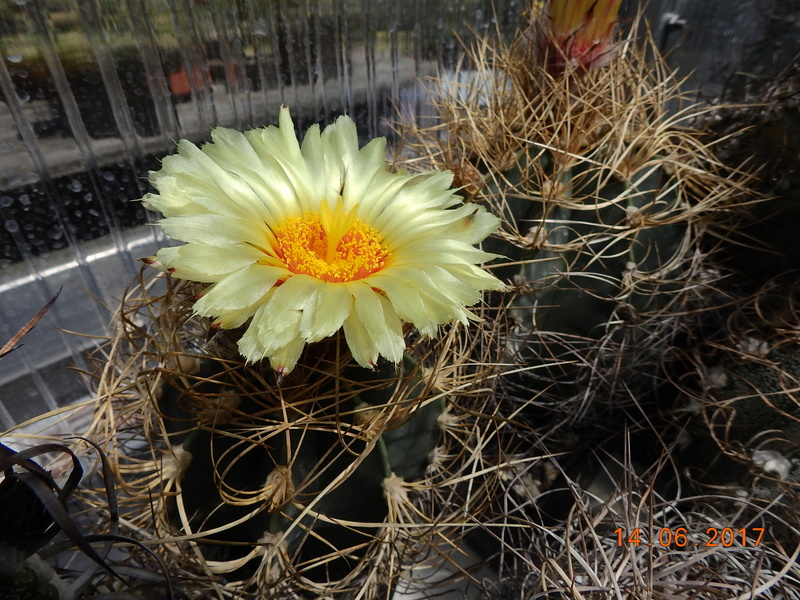 Cacti and Sukkulent in Köln, every day new flowers in the greenhouse Part 166 Bild1115