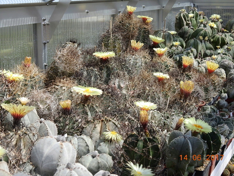 Cacti and Sukkulent in Köln, every day new flowers in the greenhouse Part 166 Bild1118
