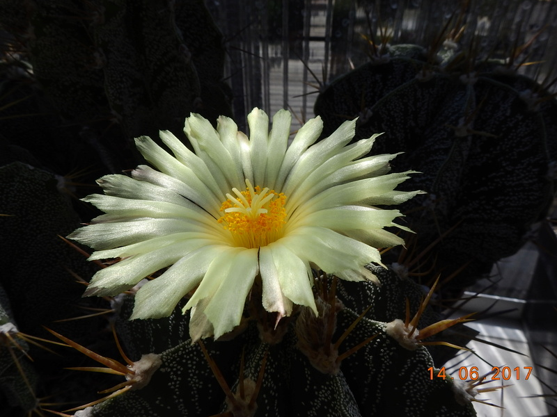 Cacti and Sukkulent in Köln, every day new flowers in the greenhouse Part 166 Bild1121