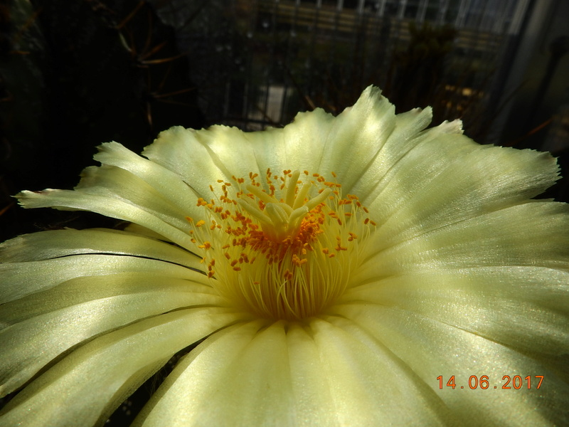 Cacti and Sukkulent in Köln, every day new flowers in the greenhouse Part 166 Bild1124